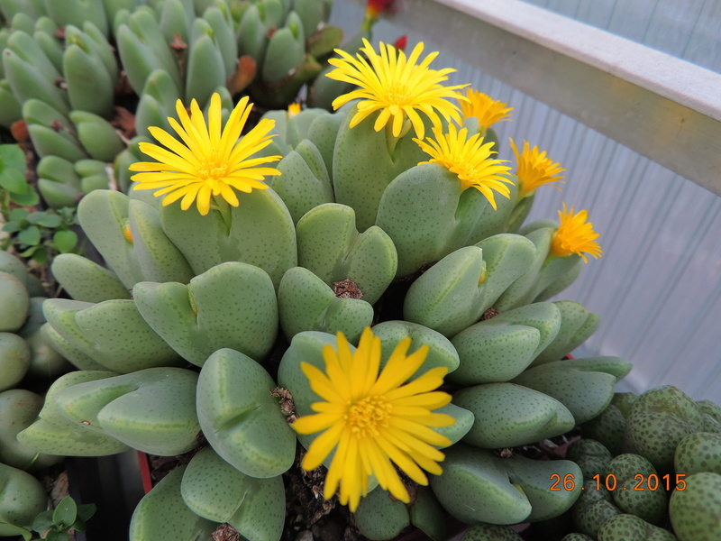 Cacti and Sukkulent in Köln, every day new flowers in the greenhouse Part 153 Bild_766