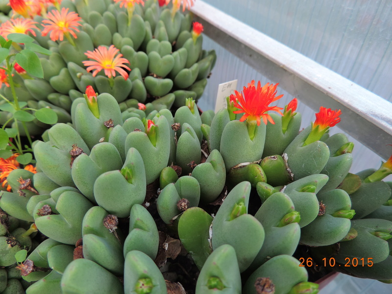 Cacti and Sukkulent in Köln, every day new flowers in the greenhouse Part 153 Bild_767