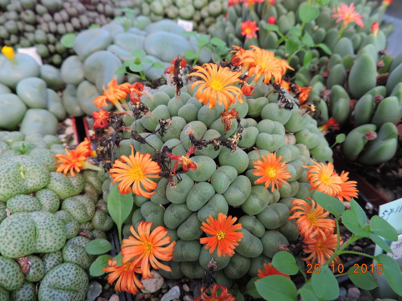 Cacti and Sukkulent in Köln, every day new flowers in the greenhouse Part 153 Bild_769