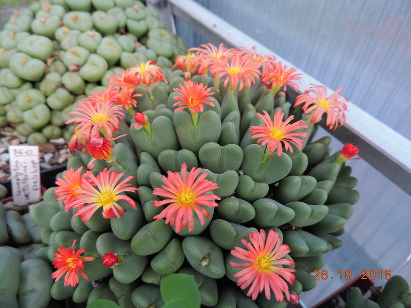 Cacti and Sukkulent in Köln, every day new flowers in the greenhouse Part 153 Bild_770