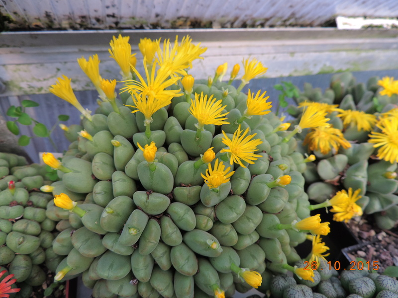 Cacti and Sukkulent in Köln, every day new flowers in the greenhouse Part 153 Bild_773