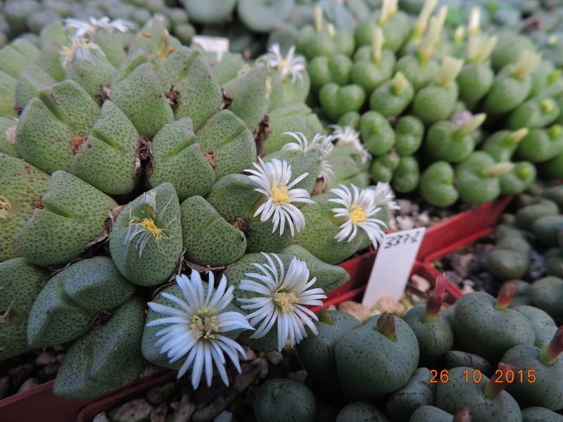 Cacti and Sukkulent in Köln, every day new flowers in the greenhouse Part 153 Bild_774
