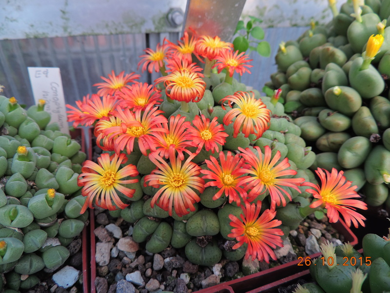 Cacti and Sukkulent in Köln, every day new flowers in the greenhouse Part 153 Bild_778
