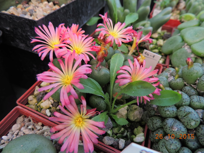 Cacti and Sukkulent in Köln, every day new flowers in the greenhouse Part 153 Bild_779