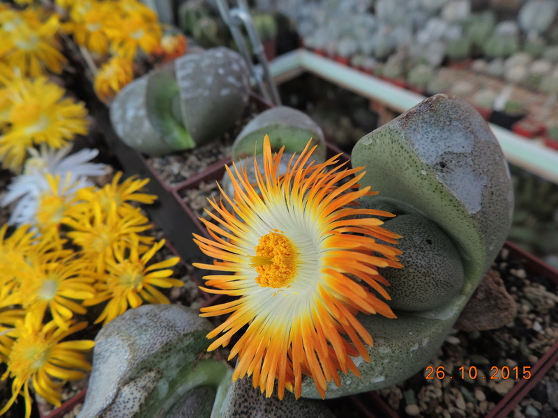 Cacti and Sukkulent in Köln, every day new flowers in the greenhouse Part 153 Bild_782