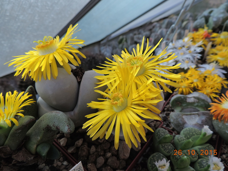 Cacti and Sukkulent in Köln, every day new flowers in the greenhouse Part 153 Bild_784