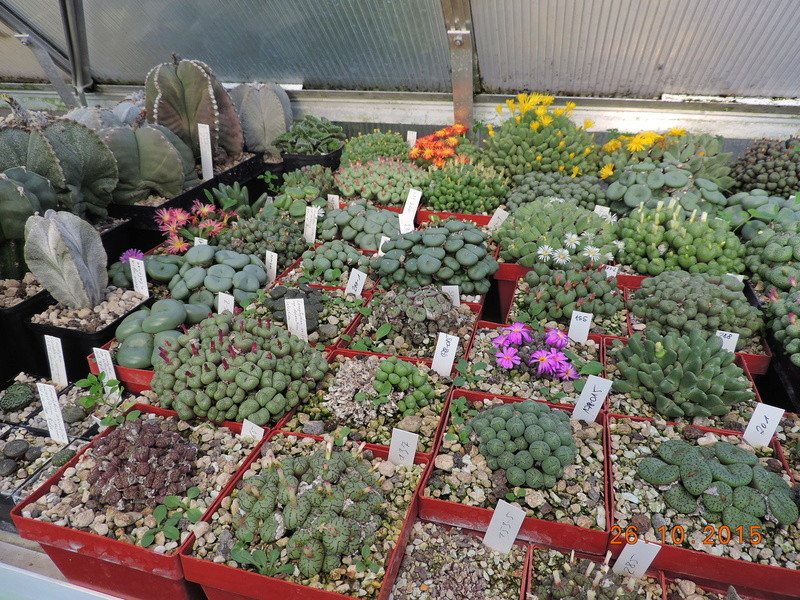 Cacti and Sukkulent in Köln, every day new flowers in the greenhouse Part 153 Bild_788