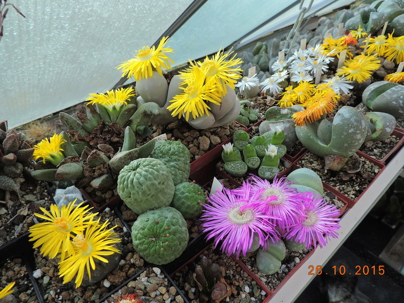 Cacti and Sukkulent in Köln, every day new flowers in the greenhouse Part 153 Bild_790