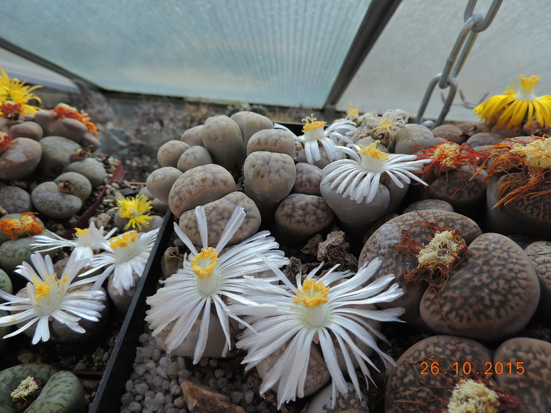 Cacti and Sukkulent in Köln, every day new flowers in the greenhouse Part 153 Bild_794