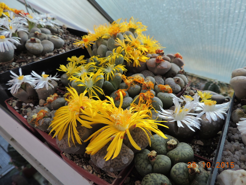 Cacti and Sukkulent in Köln, every day new flowers in the greenhouse Part 153 Bild_795