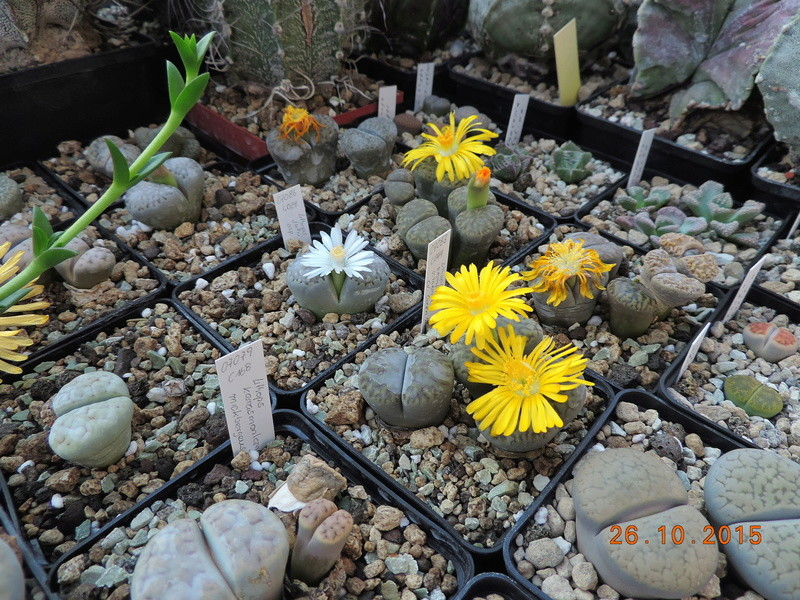 Cacti and Sukkulent in Köln, every day new flowers in the greenhouse Part 153 Bild_798
