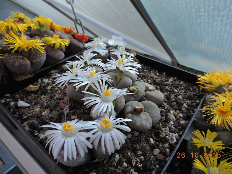 Cacti and Sukkulent in Köln, every day new flowers in the greenhouse Part 153 Bild_799