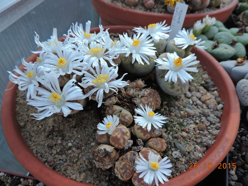 Cacti and Sukkulent in Köln, every day new flowers in the greenhouse Part 153 Bild_803