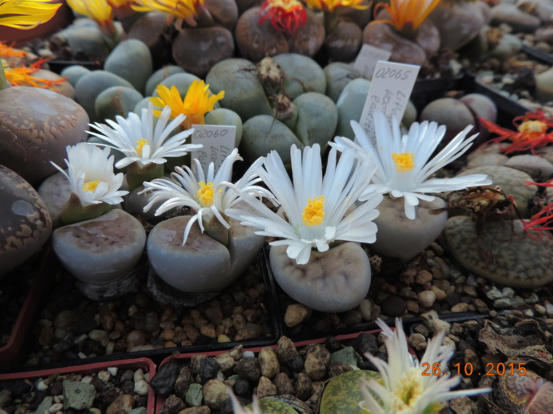Cacti and Sukkulent in Köln, every day new flowers in the greenhouse Part 153 Bild_804