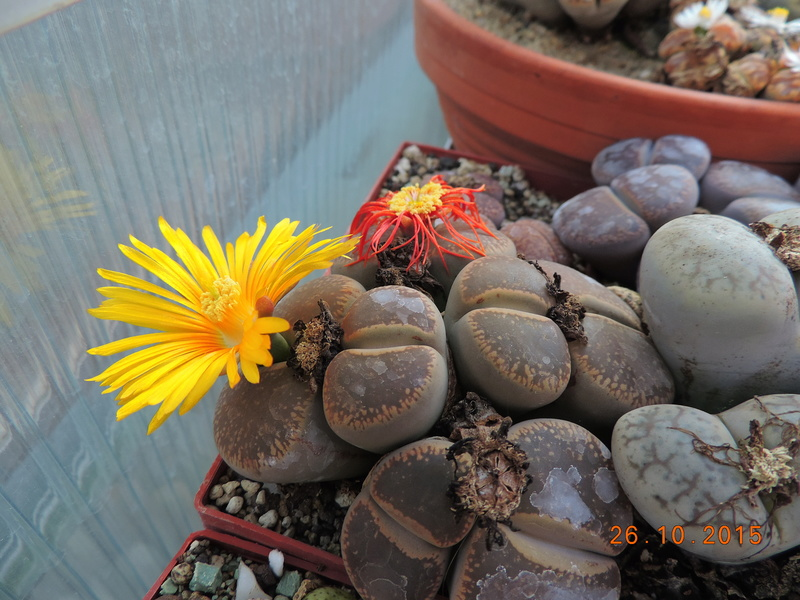 Cacti and Sukkulent in Köln, every day new flowers in the greenhouse Part 153 Bild_806