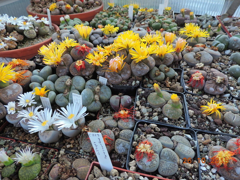 Cacti and Sukkulent in Köln, every day new flowers in the greenhouse Part 153 Bild_808