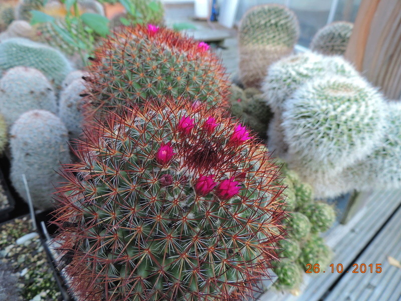 Cacti and Sukkulent in Köln, every day new flowers in the greenhouse Part 153 Bild_809