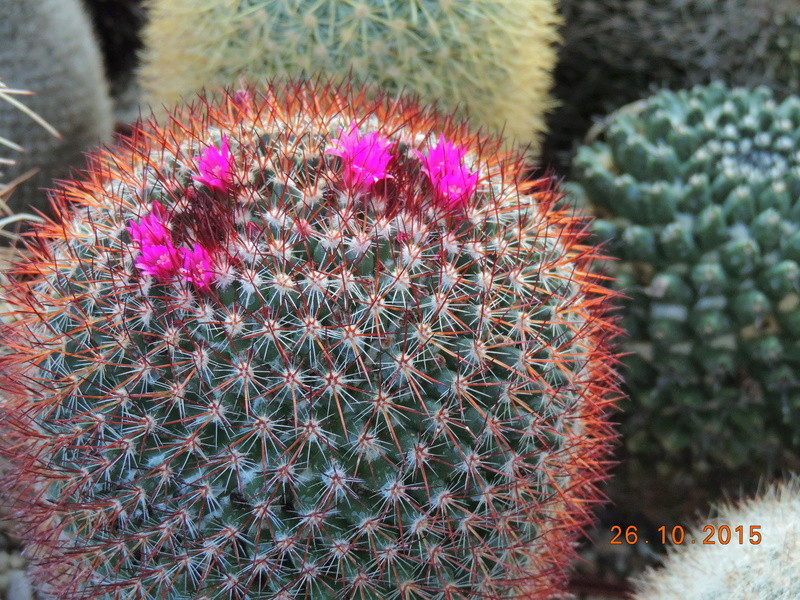 Cacti and Sukkulent in Köln, every day new flowers in the greenhouse Part 153 Bild_814