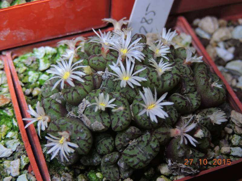 Cacti and Sukkulent in Köln, every day new flowers in the greenhouse Part 153 Bild_815