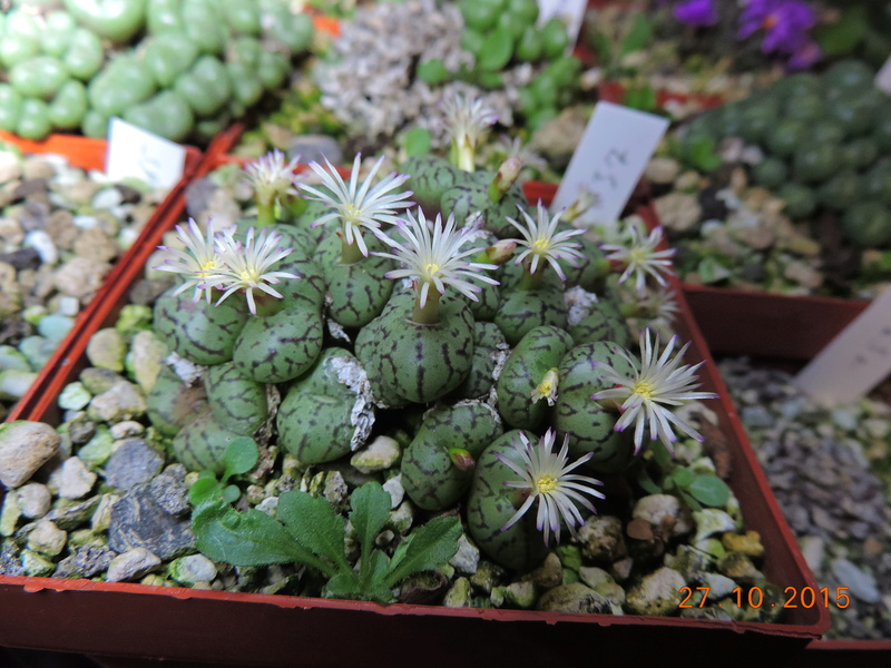 Cacti and Sukkulent in Köln, every day new flowers in the greenhouse Part 153 Bild_816