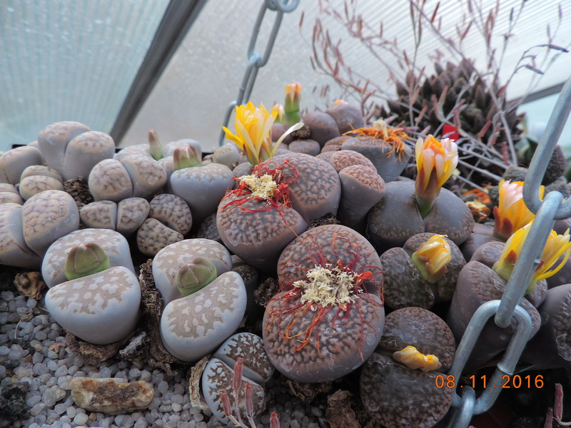 Cacti and Sukkulent in Köln, every day new flowers in the greenhouse Part 153 Bild_827
