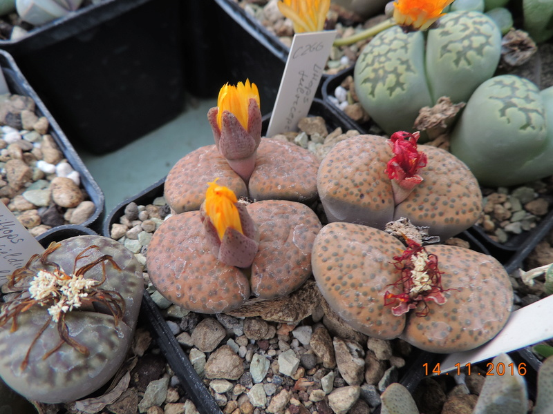 Cacti and Sukkulent in Köln, every day new flowers in the greenhouse Part 153 Bild_831