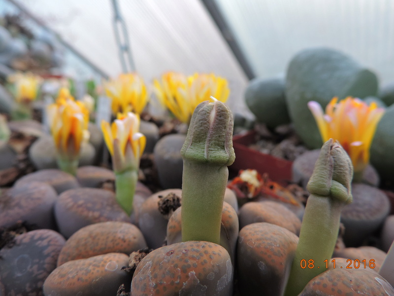 Cacti and Sukkulent in Köln, every day new flowers in the greenhouse Part 154 Bild_840