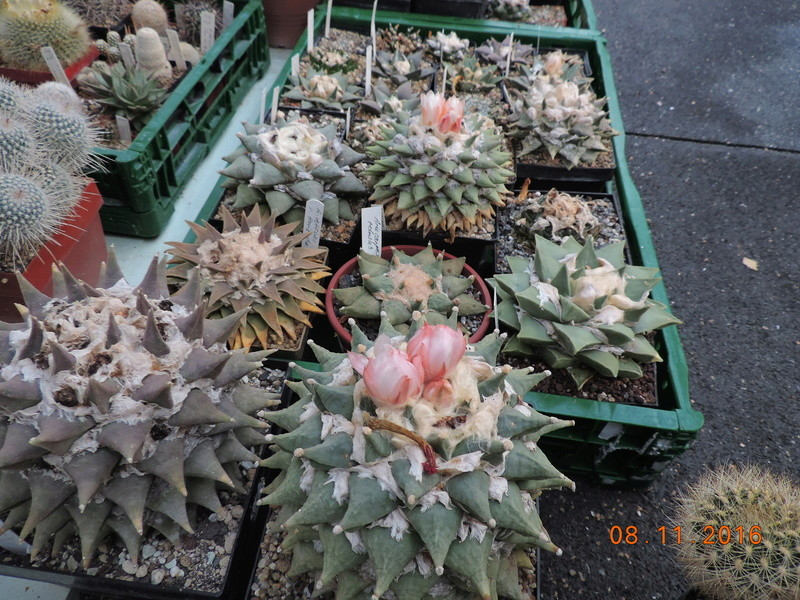 Cacti and Sukkulent in Köln, every day new flowers in the greenhouse Part 154 Bild_847
