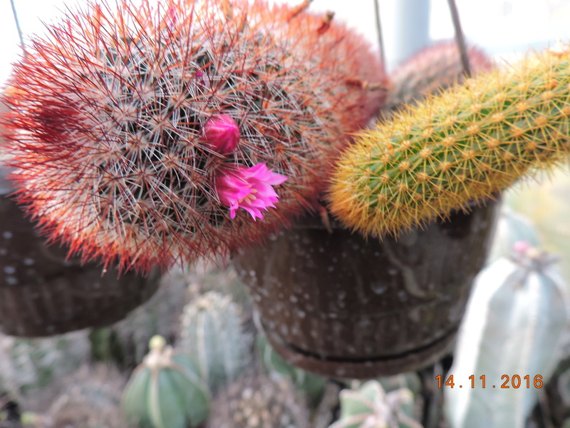 Cacti and Sukkulent in Köln, every day new flowers in the greenhouse Part 154 Bild_861