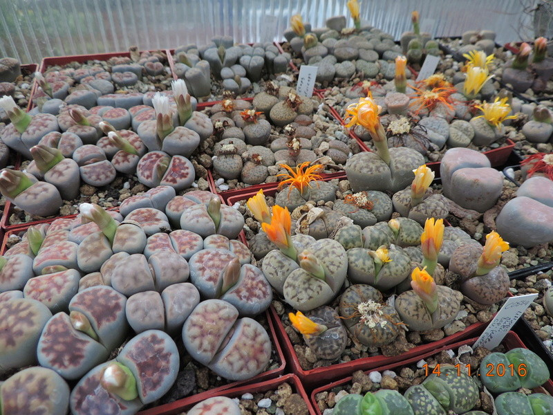 Cacti and Sukkulent in Köln, every day new flowers in the greenhouse Part 154 Bild_869