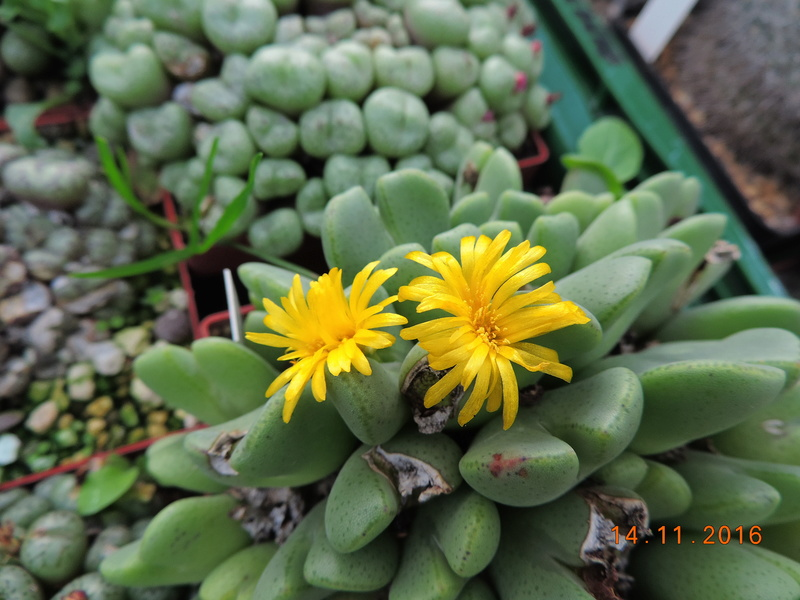 Cacti and Sukkulent in Köln, every day new flowers in the greenhouse Part 154 Bild_875