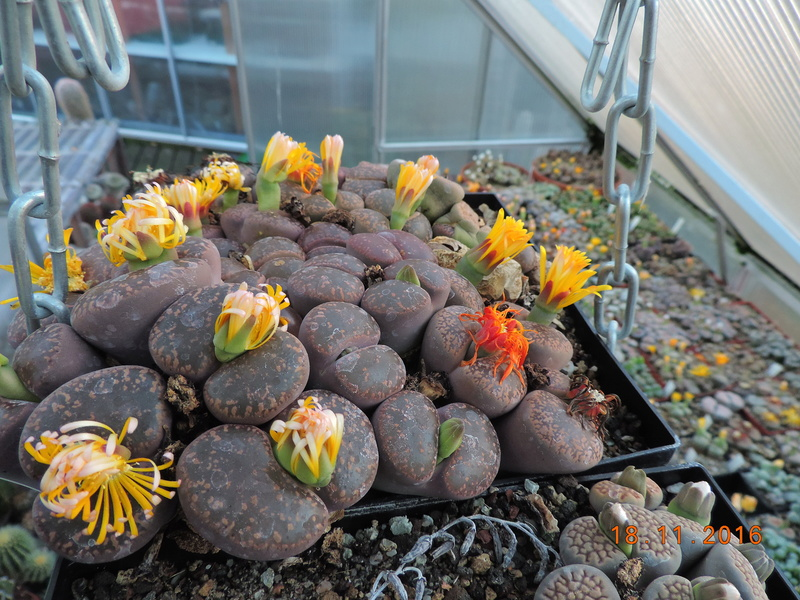 Cacti and Sukkulent in Köln, every day new flowers in the greenhouse Part 154 Bild_883