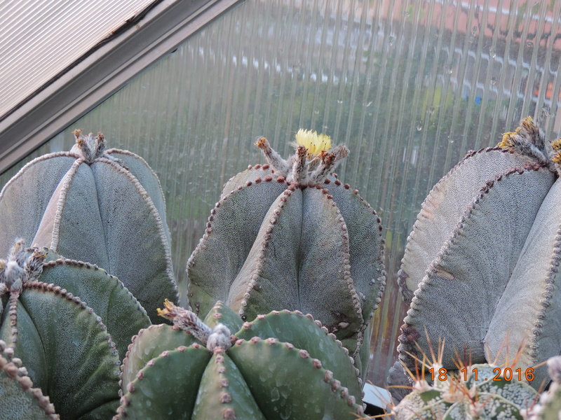 Cacti and Sukkulent in Köln, every day new flowers in the greenhouse Part 154 Bild_885