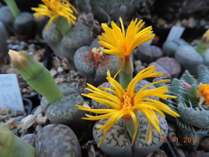 Cacti and Sukkulent in Köln, every day new flowers in the greenhouse Part 154 Bild_888