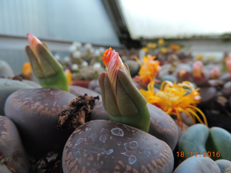 Cacti and Sukkulent in Köln, every day new flowers in the greenhouse Part 154 Bild_890