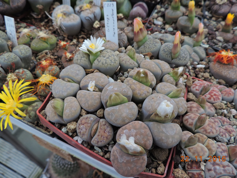 Cacti and Sukkulent in Köln, every day new flowers in the greenhouse Part 154 Bild_896
