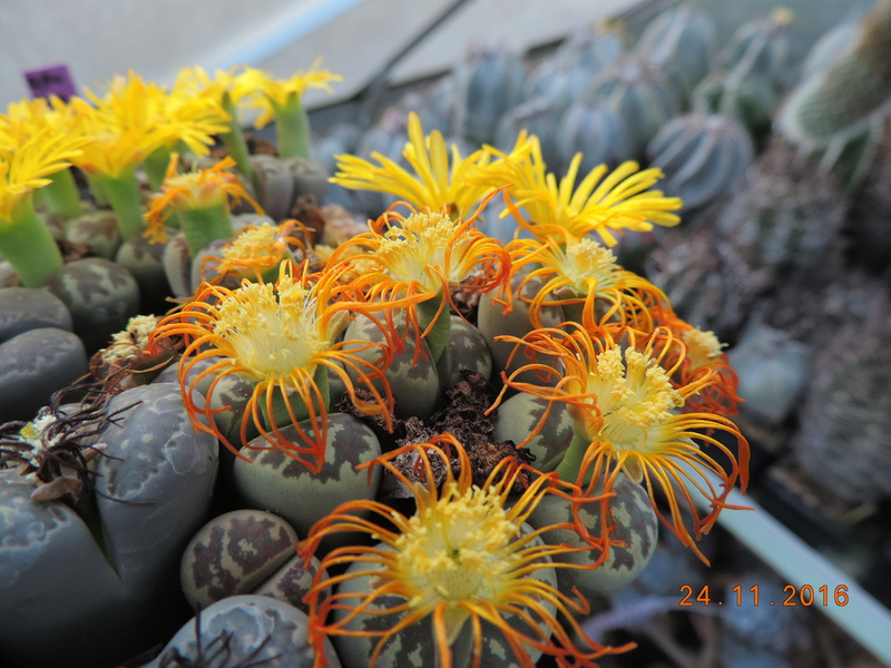 Cacti and Sukkulent in Köln, every day new flowers in the greenhouse Part 154 Bild_905