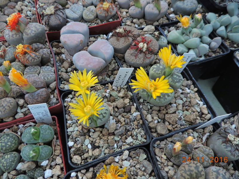Cacti and Sukkulent in Köln, every day new flowers in the greenhouse Part 154 Bild_910