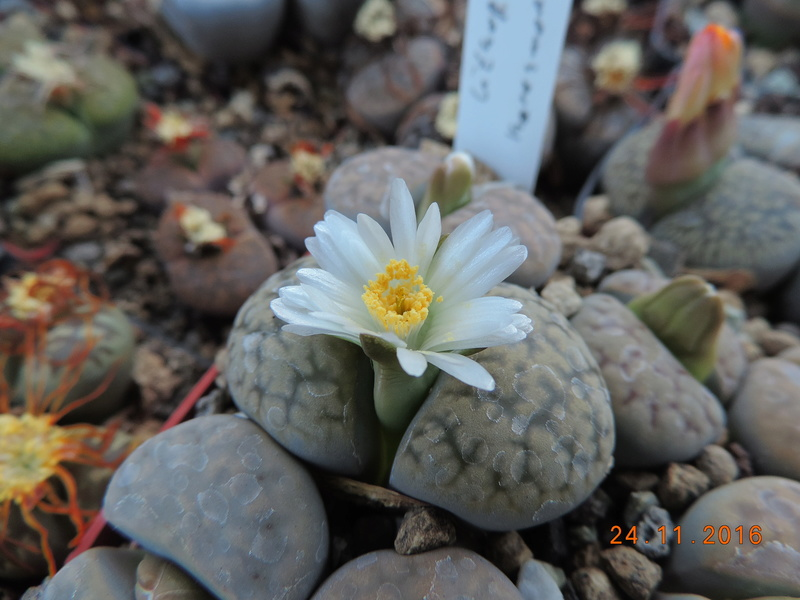 Cacti and Sukkulent in Köln, every day new flowers in the greenhouse Part 154 Bild_915