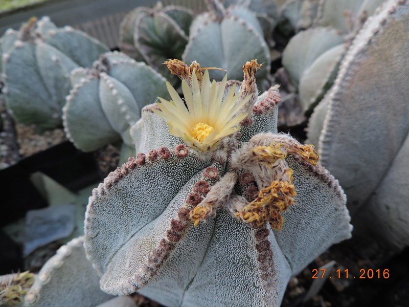 Cacti and Sukkulent in Köln, every day new flowers in the greenhouse Part 154 Bild_930