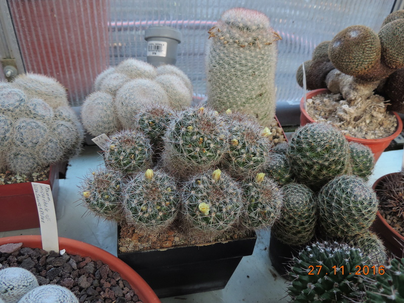 Cacti and Sukkulent in Köln, every day new flowers in the greenhouse Part 154 Bild_931