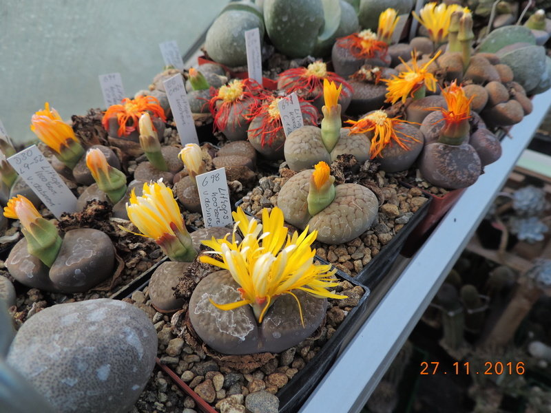 Cacti and Sukkulent in Köln, every day new flowers in the greenhouse Part 154 Bild_933