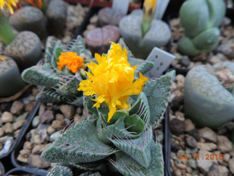 Cacti and Sukkulent in Köln, every day new flowers in the greenhouse Part 154 Bild_934