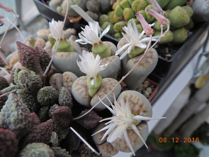 Cacti and Sukkulent in Köln, every day new flowers in the greenhouse Part 154 Bild_942