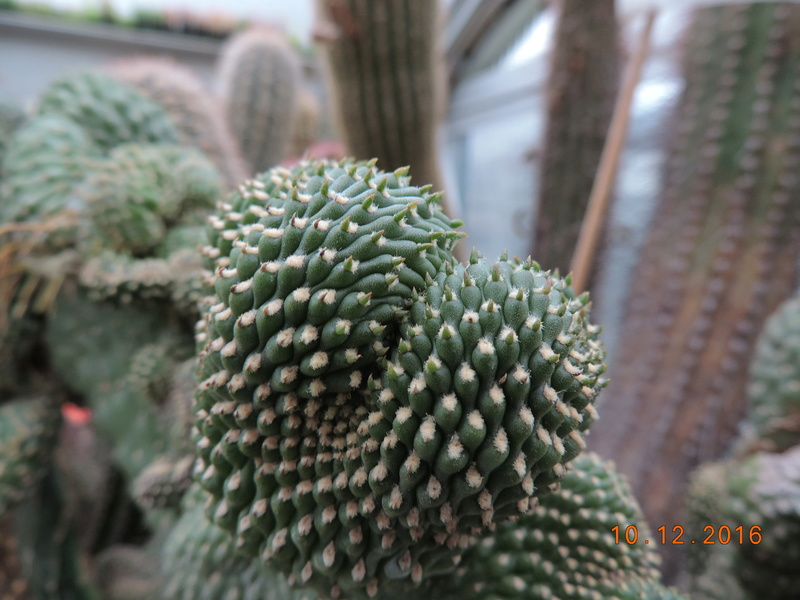 Cacti and Sukkulent in Köln, every day new flowers in the greenhouse Part 154 Bild_968