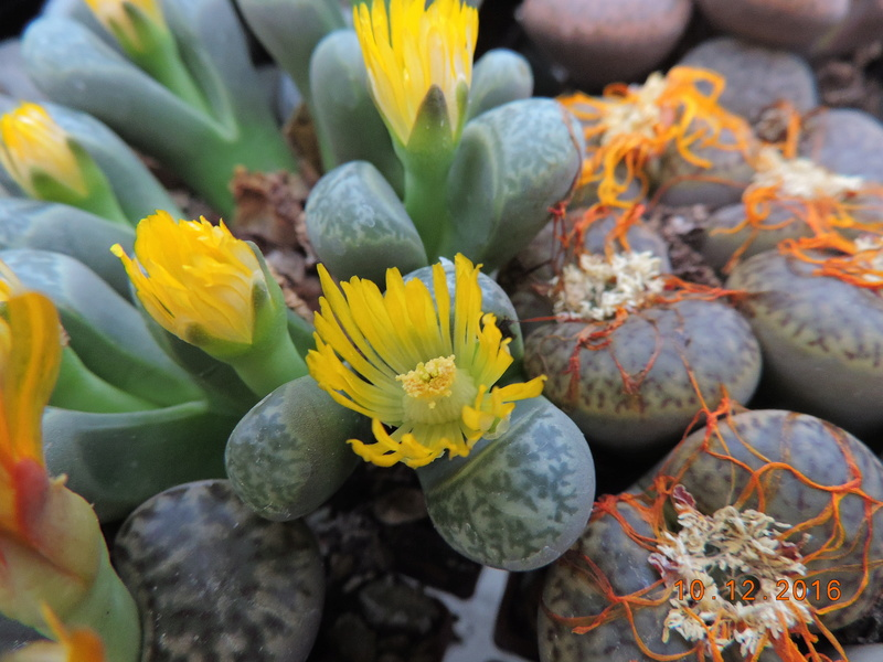Cacti and Sukkulent in Köln, every day new flowers in the greenhouse Part 154 Bild_976