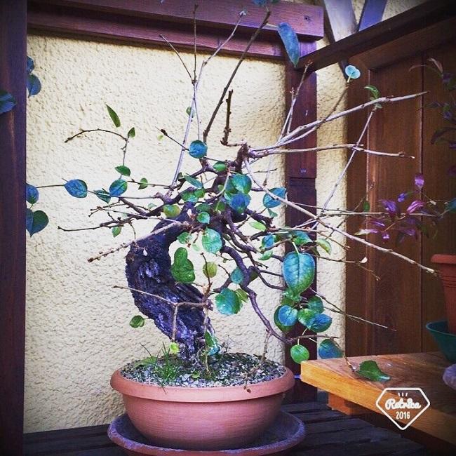"Prunus mahaleb ""Stelo di giada"". - Pagina 5 Img_1210"