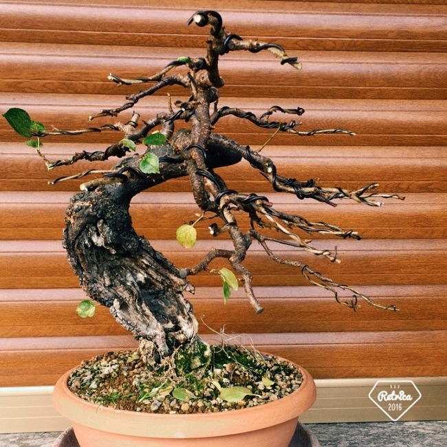 "Prunus mahaleb ""Stelo di giada"". - Pagina 5 Img_1211"