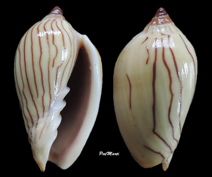 Amoria zebra - (Leach, 1814) Amoria10