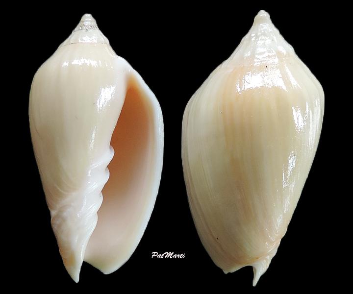 Amoria zebra - (Leach, 1814) Amoria11